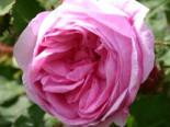 Moos-Rose / Wildrose 'Muscosa', Rosa centifolia 'Muscosa', Containerware