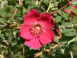 Rote Büschelrose / Mandarin-Rose, 60-100 cm, Rosa moyesii, Containerware