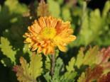 Winteraster 'Goldmarianne', Chrysanthemum x hortorum 'Goldmarianne', Topfware