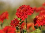 Winteraster 'Rehauge', Chrysanthemum x hortorum 'Rehauge', Topfware