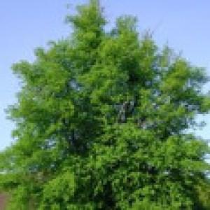 Winterlinde / Steinlinde, 125-150 cm, Tilia cordata, Wurzelware