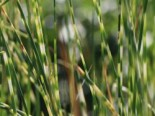 Zebra-Simse 'Zebrinus', Scirpus lacustris subsp. tabernaemontani 'Zebrinus', Topfware