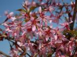 Zierkirsche 'Okame', Stamm 60 cm, Prunus subhirtella 'Okame', Stämmchen