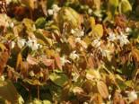 Zierliche Elfenblume 'Niveum', Epimedium x youngianum 'Niveum', Topfware