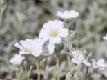 Zwerg Hornkraut / Silber Hornkraut, Cerastium tomentosum, Topfware