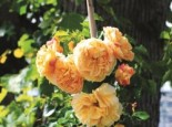 Zwerg-Kletterrose Starlet®-Rose 'Lizzy' ®, Rosa Starlet®-Rose 'Lizzy' ®, Topfware