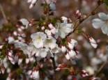 Zwergkirsche 'Brilliant' / Kurilenkirsche 'Brilliant', 40-60 cm, Prunus kurilensis 'Brilliant', Containerware