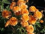 Zwergrose 'Clementine' ®, Rosa 'Clementine' ®, Containerware