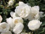 Zwergrose 'White Babyflor' ®, Rosa 'White Babyflor' ®, Wurzelware