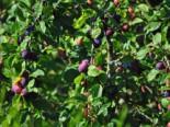 Zwetsche 'Wangenheimer Frühzwetsche', Stamm 40-60 cm, 120-160 cm, Prunus 'Wangenheimer Frühzwetsche', Wurzelware