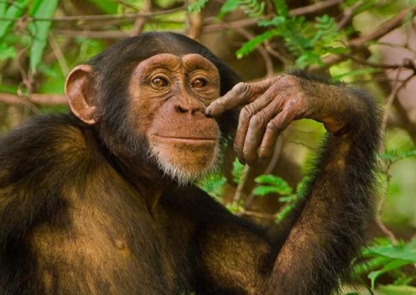「チンパンジー バナナ」の画像検索結果