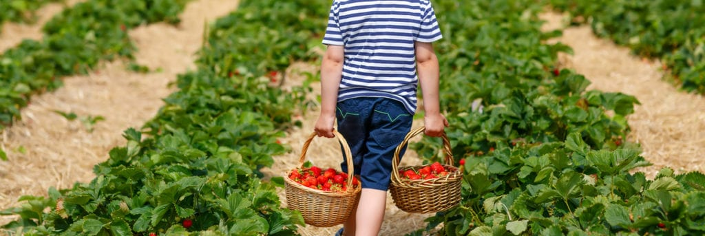 Funny little kid picking and eating strawberries on organic bio berry farm in summer, on warm sunny day. Harvest fields in Germany. Healthy food for children.