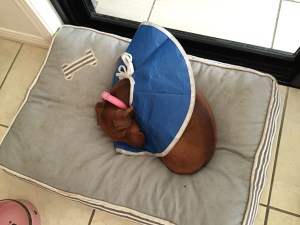 Lola sleeping with her cone