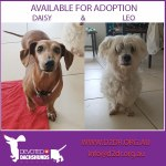 Daisy the Dachshund and Leo the Maltese Terrier both around 7 - 8 years old