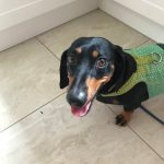 BARNEY - BLACK AND TAN MINI SMOOTH MALE - 4 YEARS 9 MONTHS YEARS - 7KG