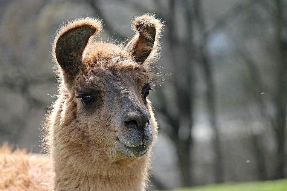 Photo portrait d'un lama par Manfredrichter