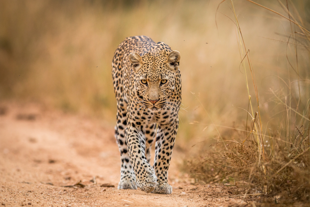 african leopard how to