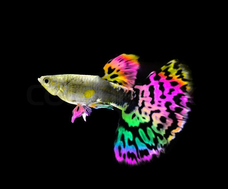Wunderschne Guppy Fische schwimmen   Stockfoto