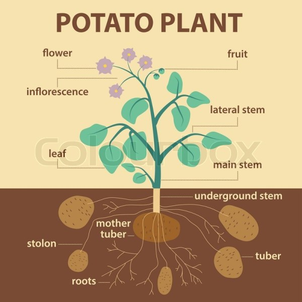Potato Plant Illustration