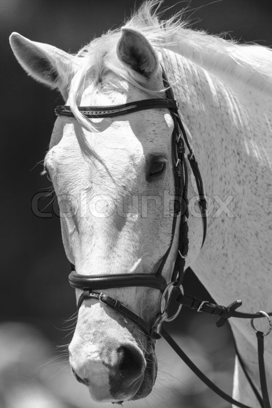 Spanish Girls Wallpaper White Horse Head Portrait Of Animal In Stock Photo