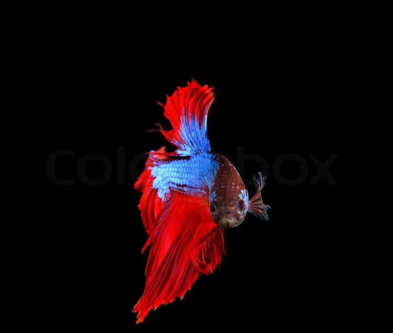 Low Poly Iphone X Wallpaper Red And Blue Siamese Betta Fighting Fish Full Tail And Fin
