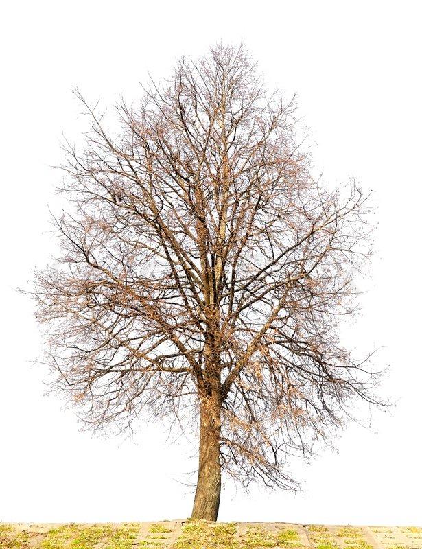 Der einsame auf weißem Herbst Linden Baum ohne Blätter