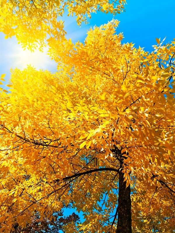 Birch Tree Fall Wallpaper Close Up Bright Autumn Golden Tree In Sunny Day Over Blue Sky