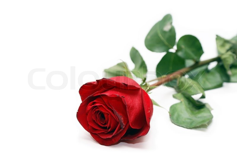 Closeup Of Nice Red Rose Lying On White Background Stock