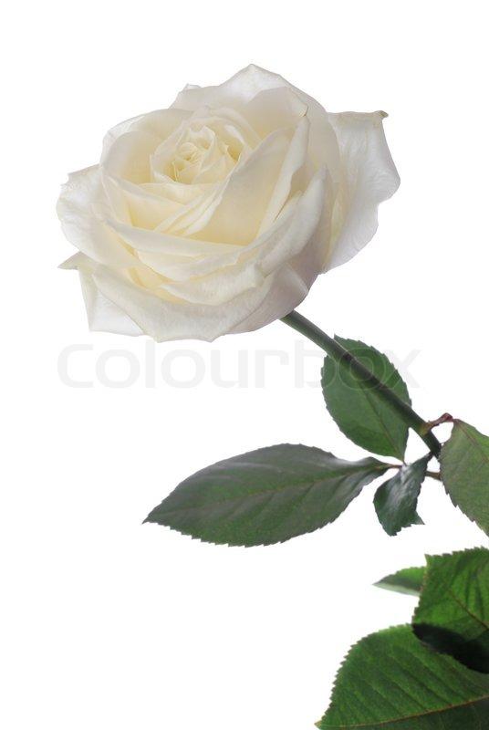 Weie Rose   Stockfoto  Colourbox