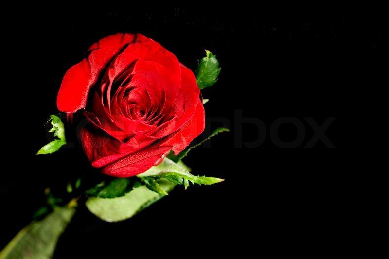 Rote Rose auf schwarzem Hintergrund  Stockfoto  Colourbox