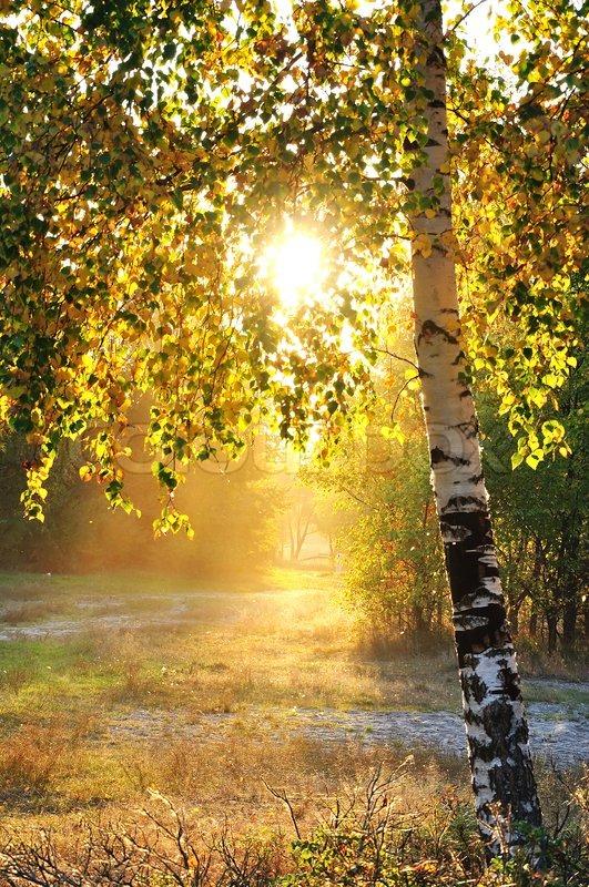 Birch Tree Fall Wallpaper Close Up Birken Im Sommer Wald Und Strahlendem Stockfoto