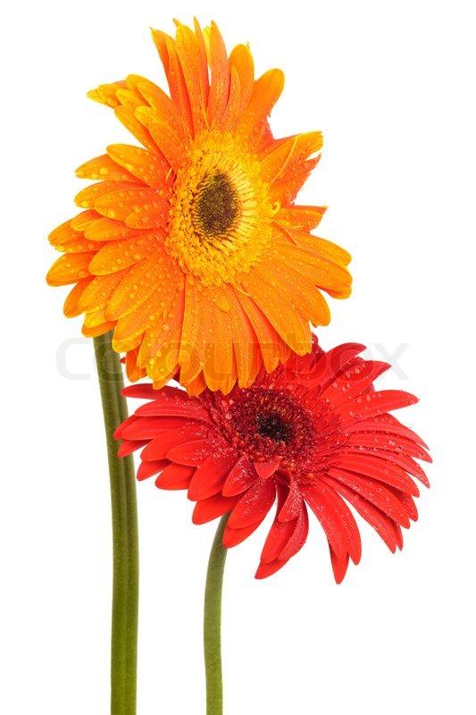 Schne zwei Blumen auf einem weien Hintergrund