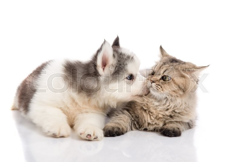 Cute Couple Together Wallpaper Cute Siberian Husky Puppy Kissing Cute Kitten On White
