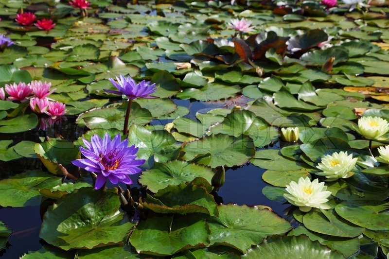 Yellow Pond Plants