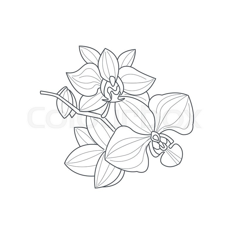 Orchid Flower Monochrome Drawing For Coloring Book Hand