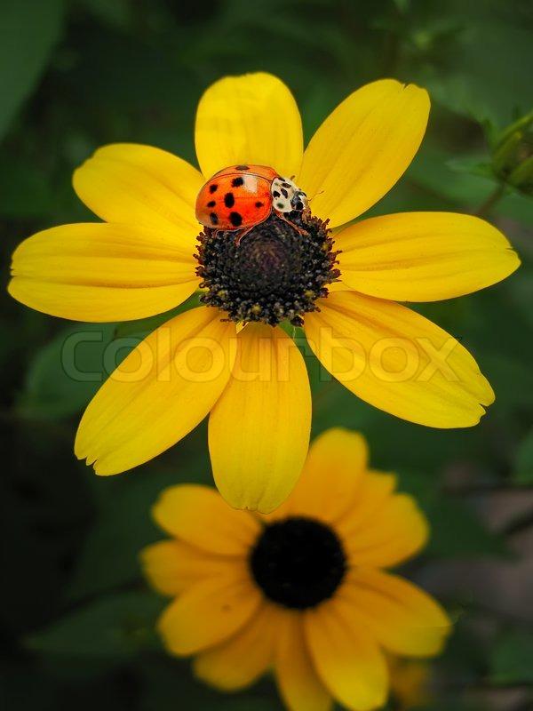 Ladybug on a flower. The ladybug sits on a flower petal