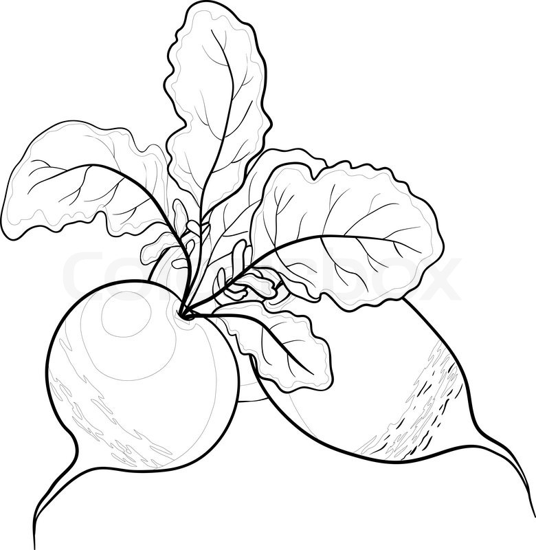 Vegetable, radish with leaves, vector, monochrome contour