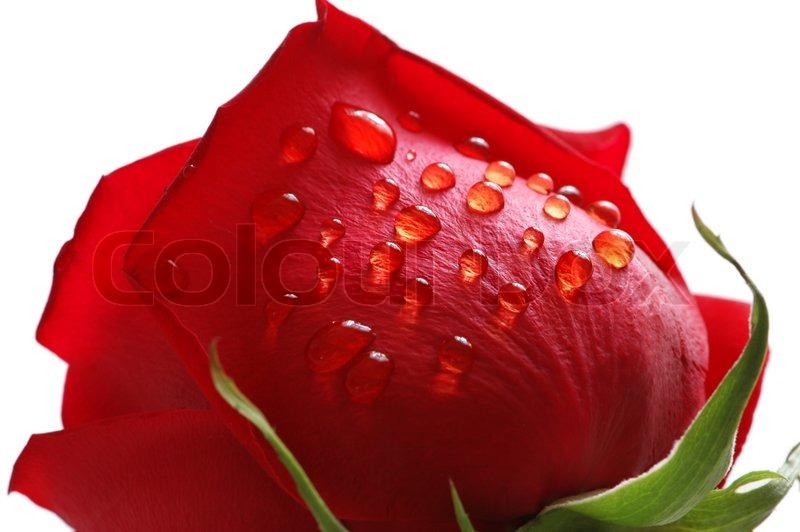 Rote Rose mit Wassertropfen auf weiem   Stockfoto