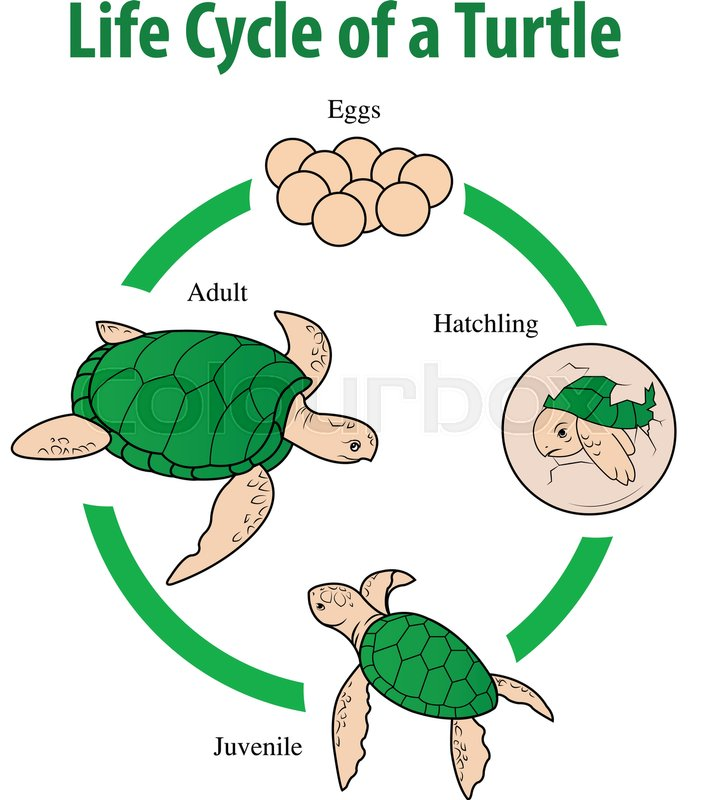 bird life cycle diagram software architecture visio template vector illustration of turtle ... | stock colourbox
