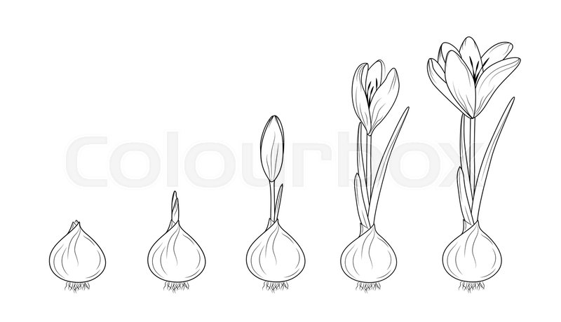 Crocus germination from corm bulb to sprouts to flower