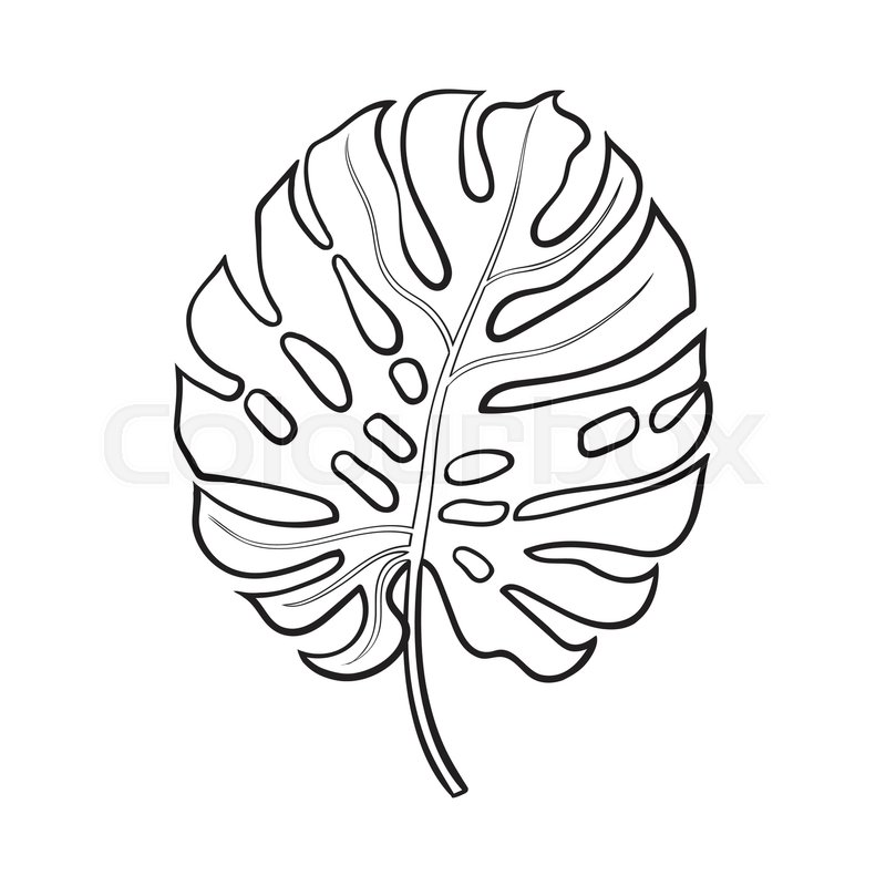 Full fresh leaf of monstera palm tree, sketch style vector