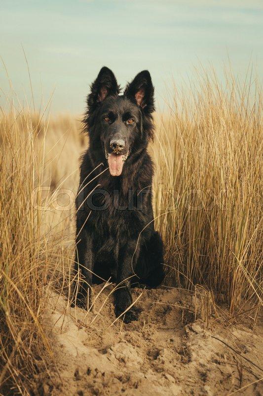 black old german shepherd