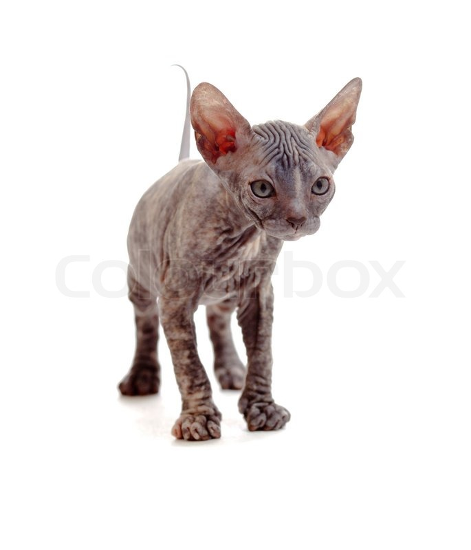 Image Result For Are Sphynx Cats Allergy Free