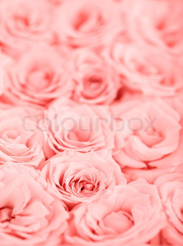 Rosa frischen Rosen Hintergrund mit   Stockfoto  Colourbox