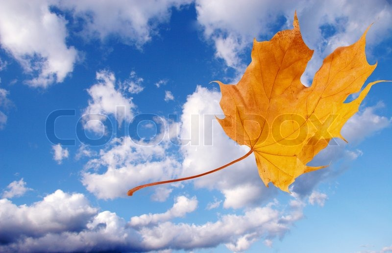 Autumn Falling Leaves Wallpaper Autumn Maple Leaf Flying Away Against The Background Of
