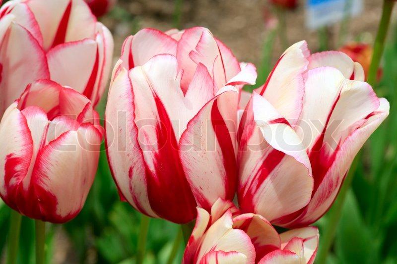Frhlingsferien rot weie Tulpe Blumen   Stockfoto
