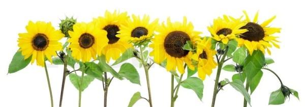 isolated sunflowers border stock