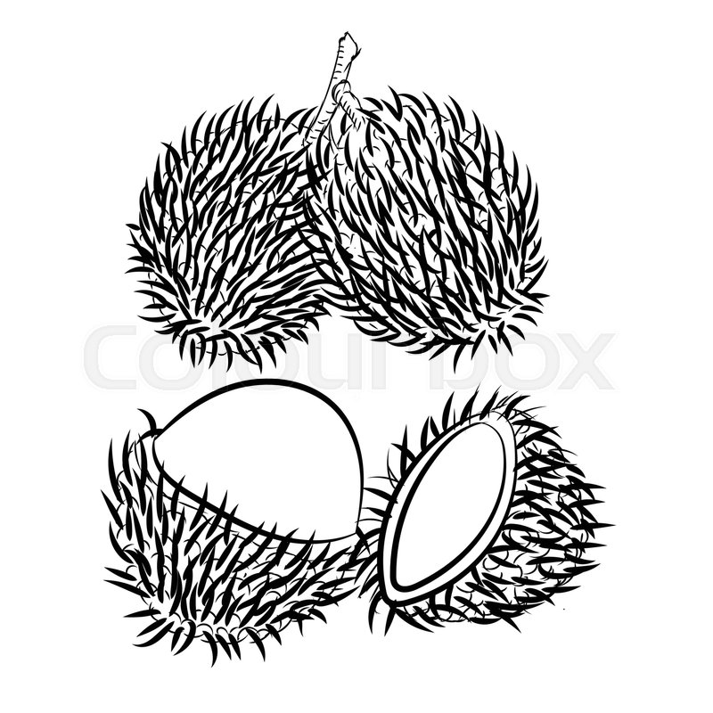 Hand drawn sketch of Rambutan isolated, Black and White
