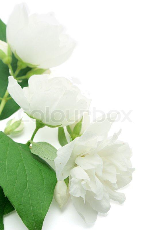 White jasmine flowers isolated on white background Stock