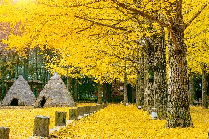 Free Wallpaper Fall Season Autumn With Ginkgo Tree In Nami Island Korea Stock